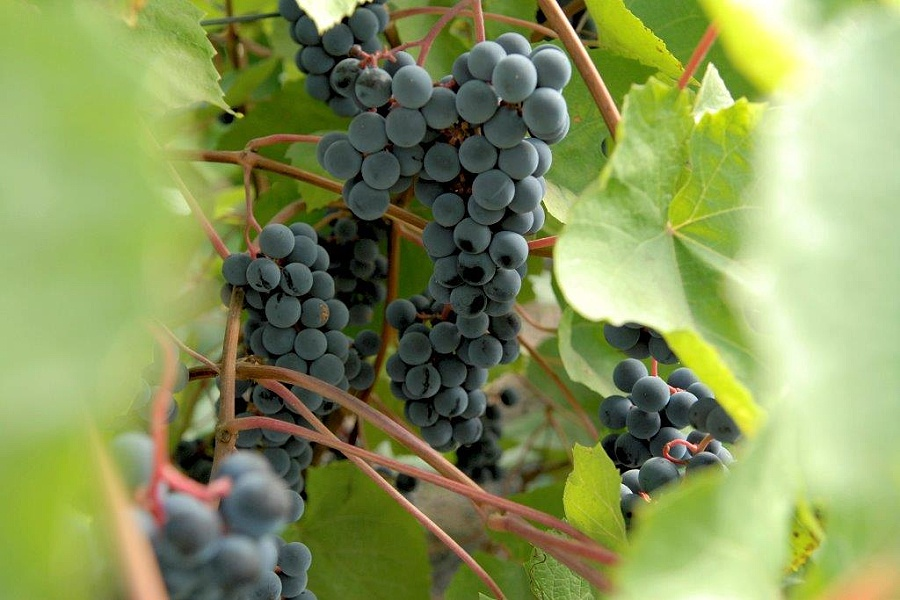 Víno vyrobené z těchto hroznů se prý rok od roku lepší