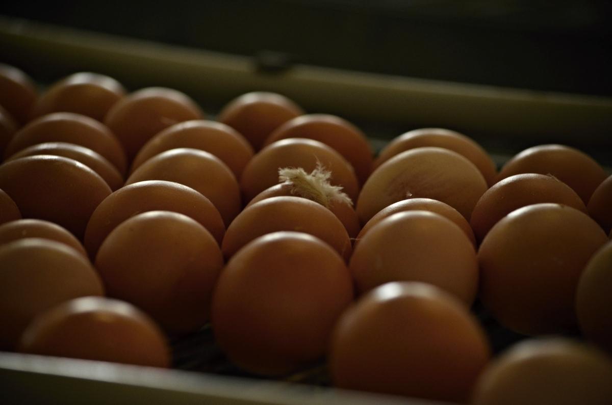 Vajíčka na dopravníku