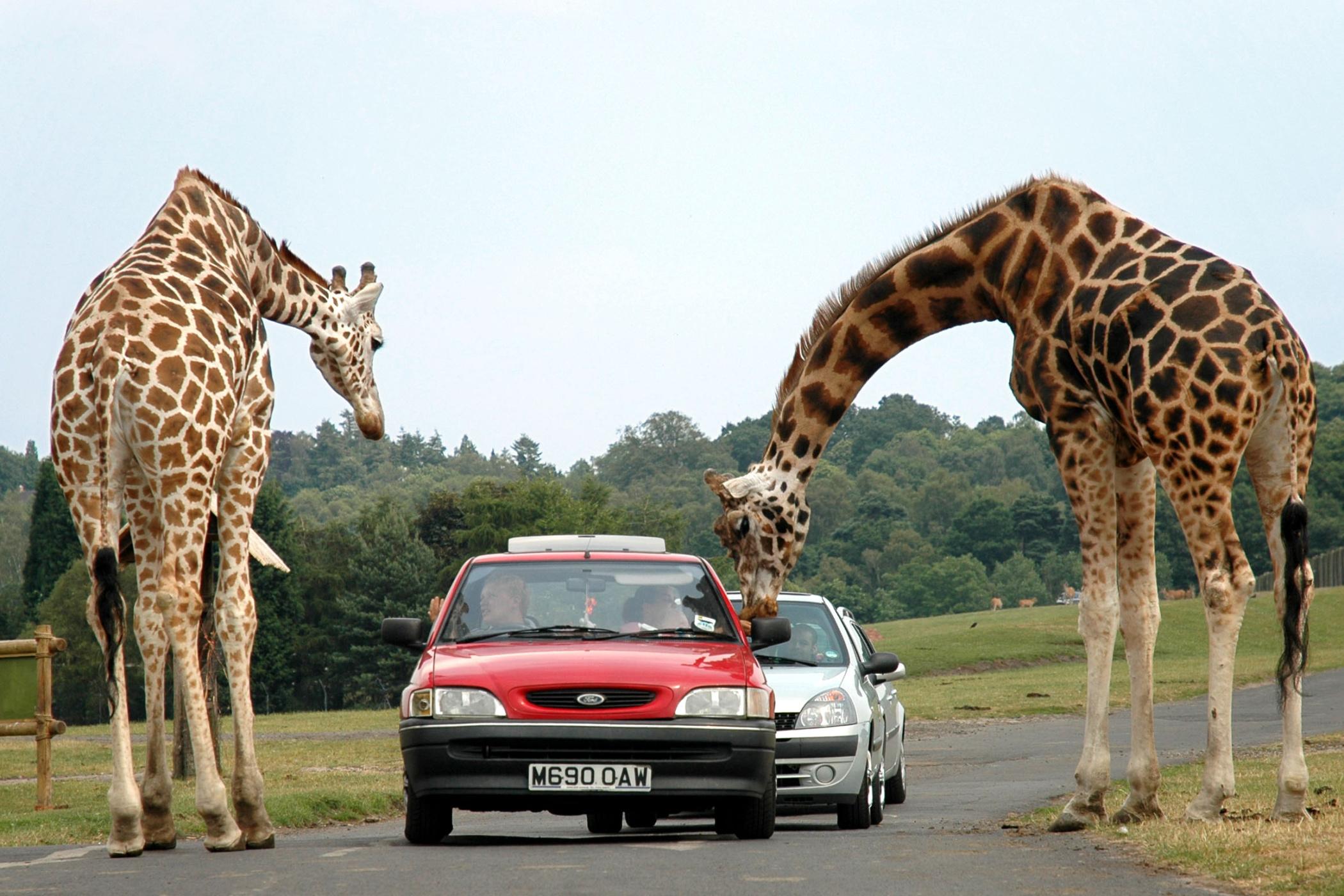 žirafy - Afrika - safari