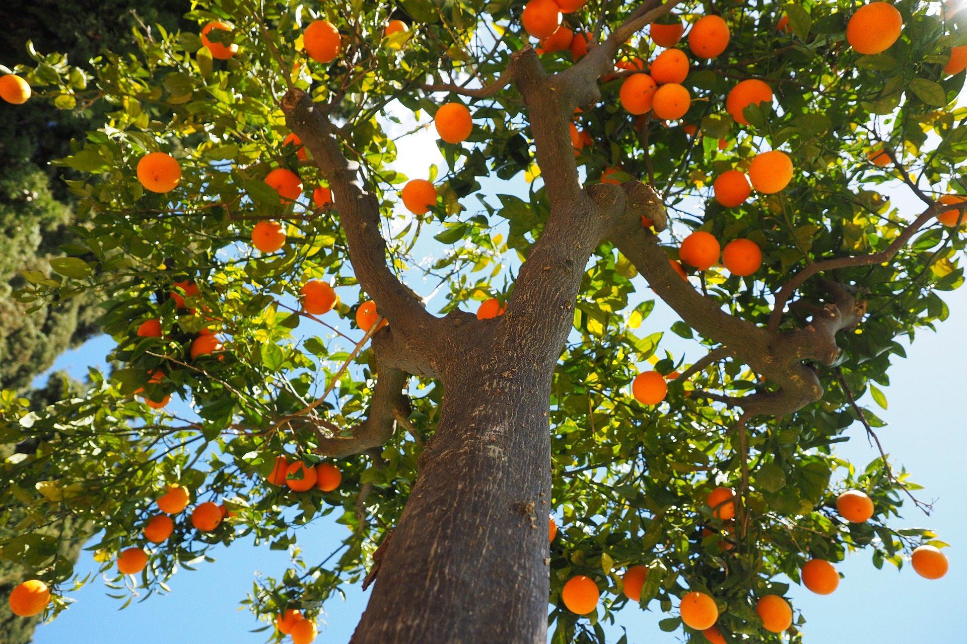 Pomerančovník (ilustrační snímek)