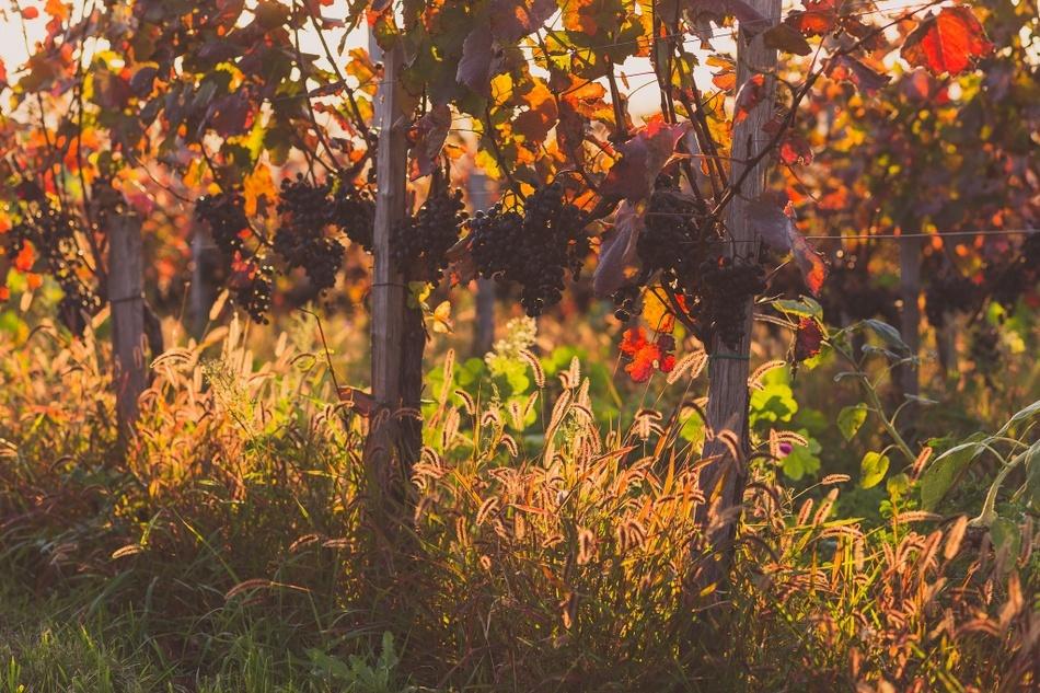 Strekovský vinohrad na podzim