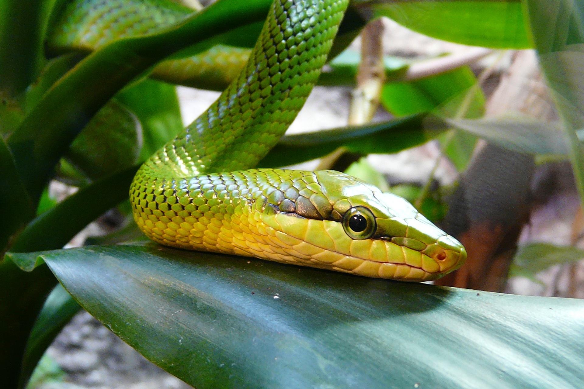 Mamba patří mezi nejjedovatější hady, její jed způsobuje nervovou paralýzu. Postižený pacient umírá velmi rychle