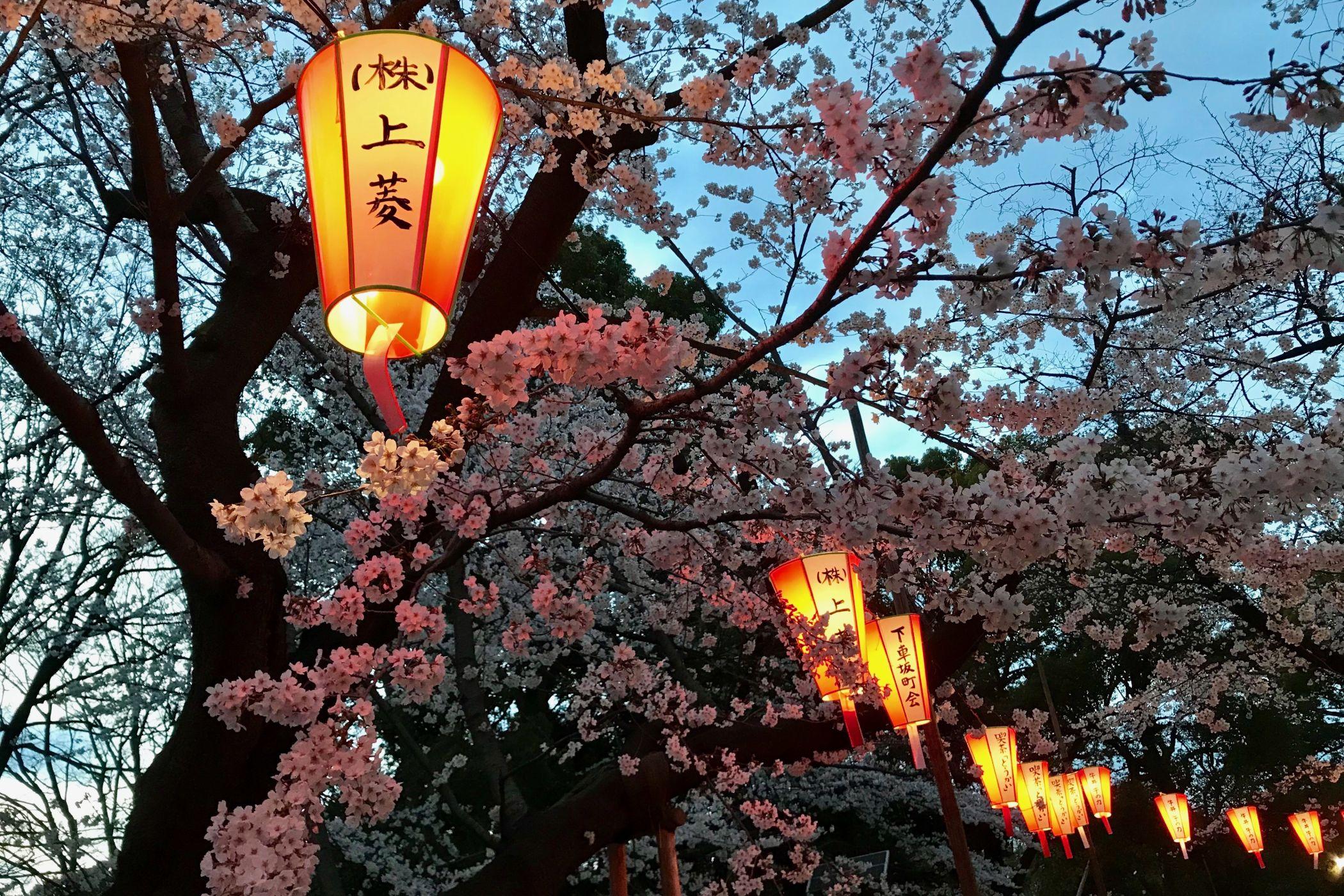 Kouzlo podvečera v tokijském parku Ueno během hanami neboli pozorování sakur