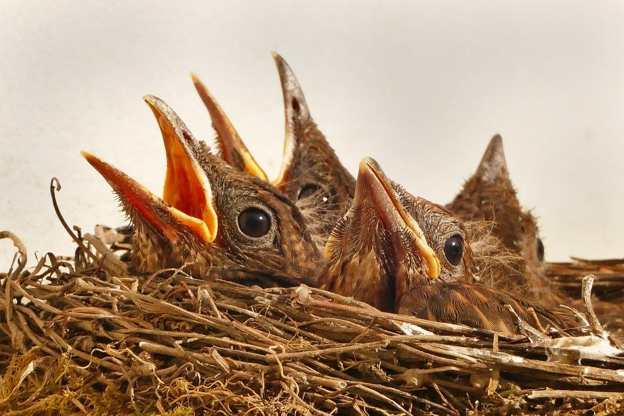 Ptačí mláďata v hnízdě