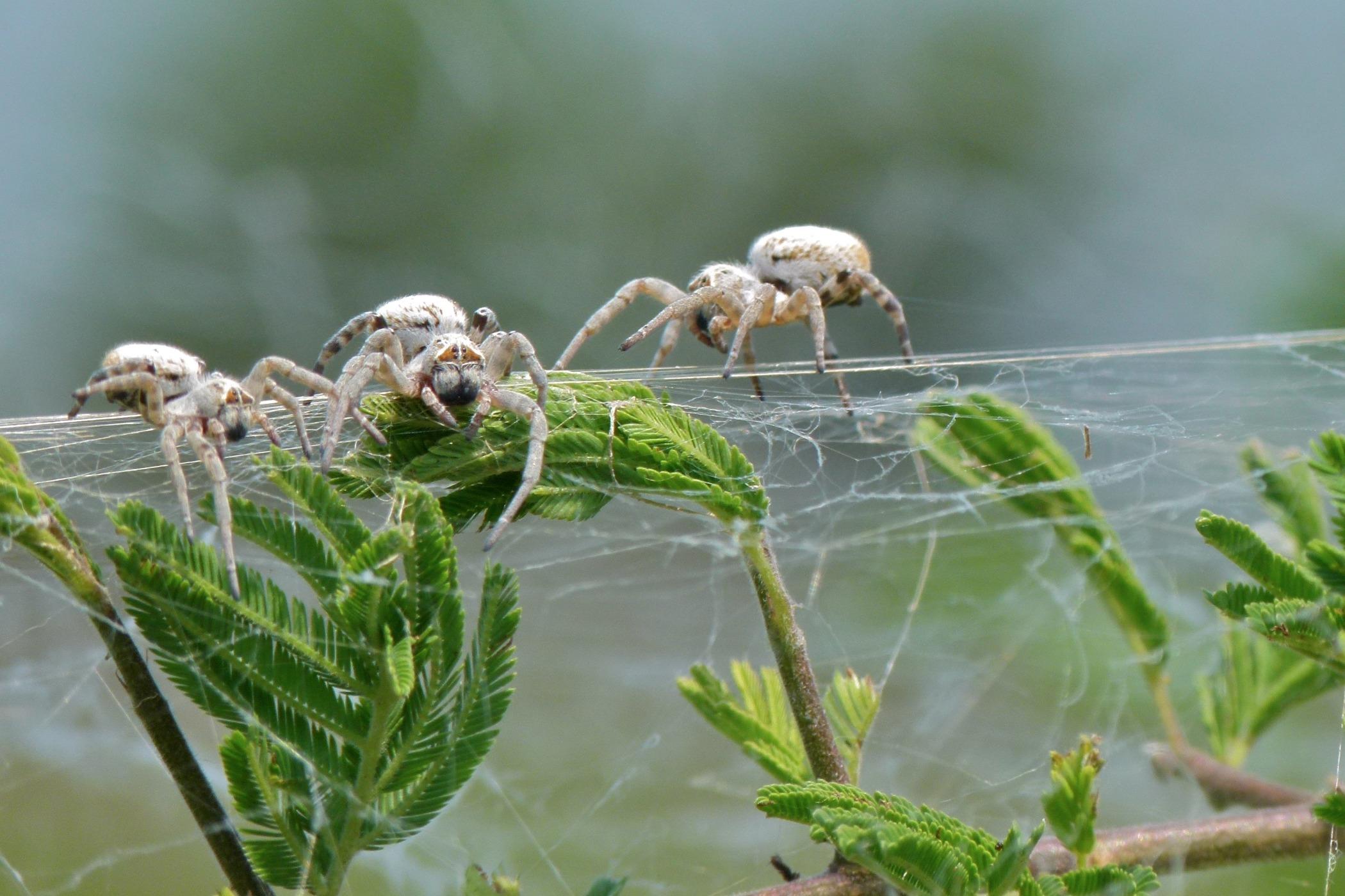 Pavouci rodu Stegodyphus žijí v koloniích