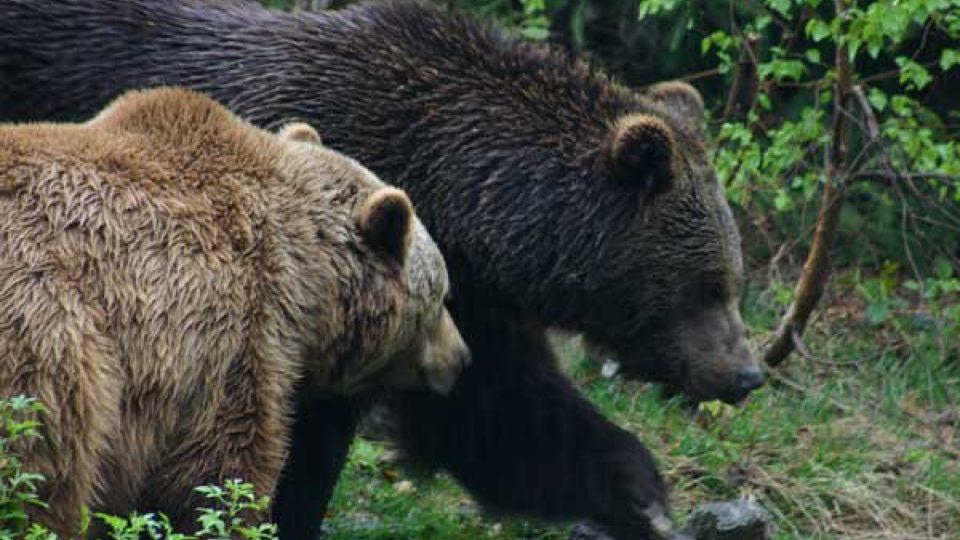 Medvědi na Slovensku