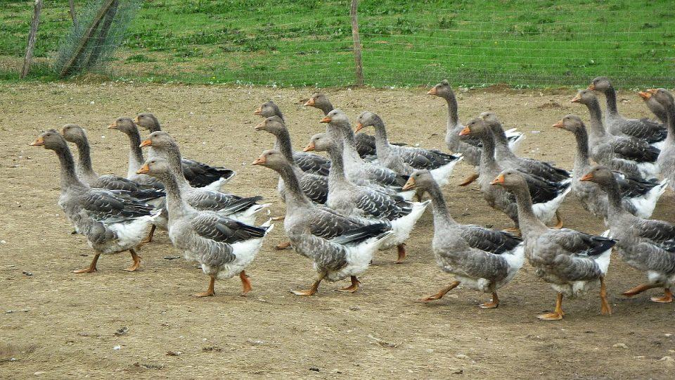 Husy z farmy u Auch nedaleko Toulouse