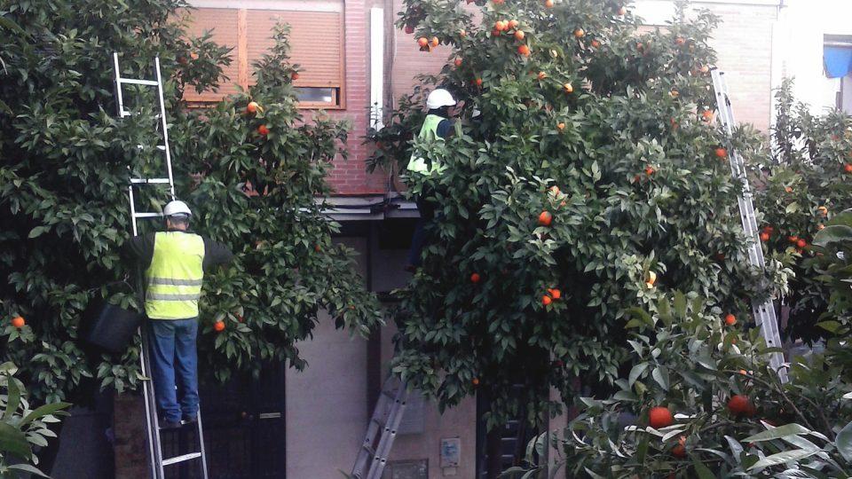 Muži česají pomeranče i ve výšce pěti metrů