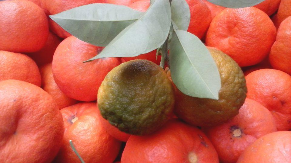 Pomeranče. Krásně voní, ale jsou kyselé