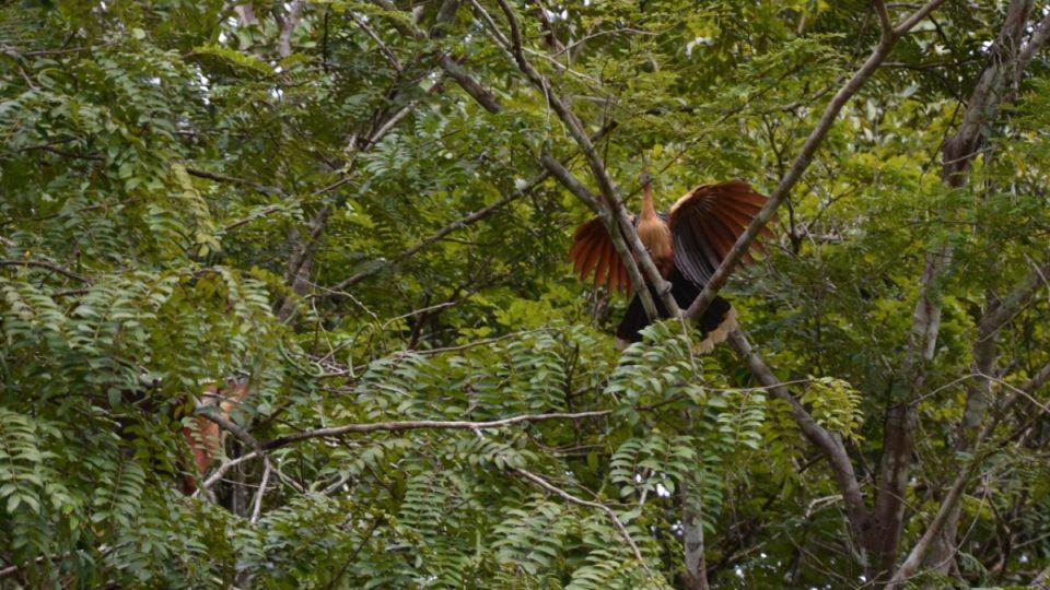 Hoacin chocholatý, pták, který má až mystický vzhled, si díky trávení velkého množství potravy ve voleti vysloužil předzívku smradlavý pták