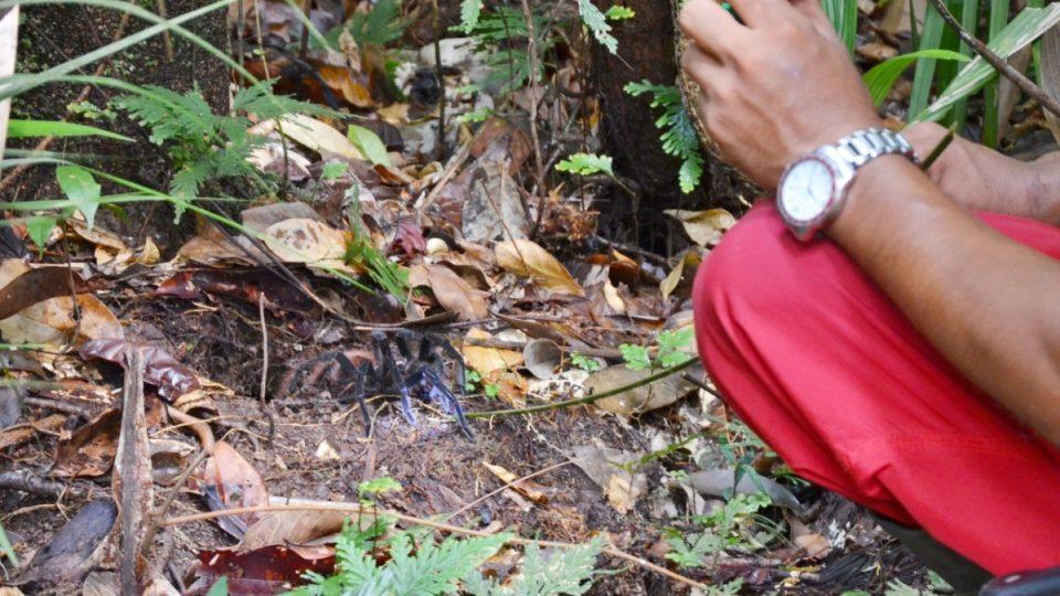 Průvodce Robinson odhalil noru velkého sklípkana, tedy tarantule, a vylákal ho ven