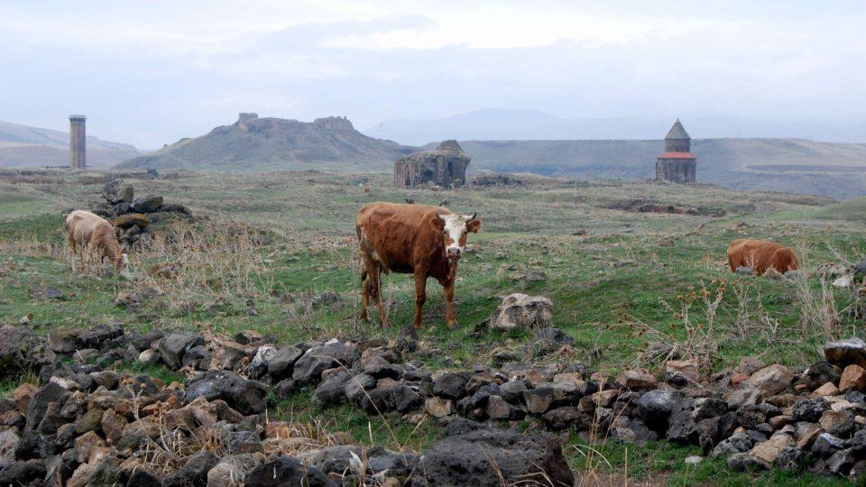 Krávy se pasou v ruinách středověkého města Ani