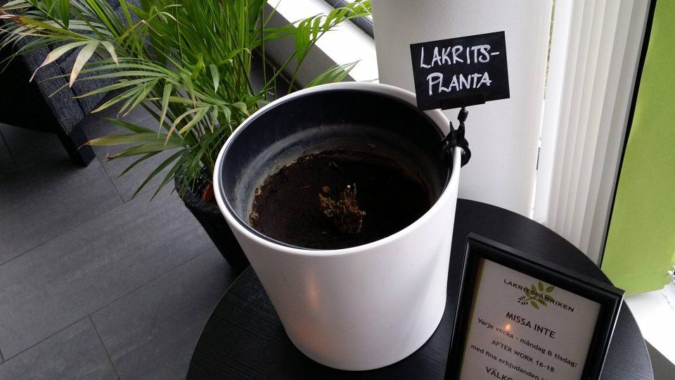 Lékořice se získává z kořene stejnojmenné rostliny