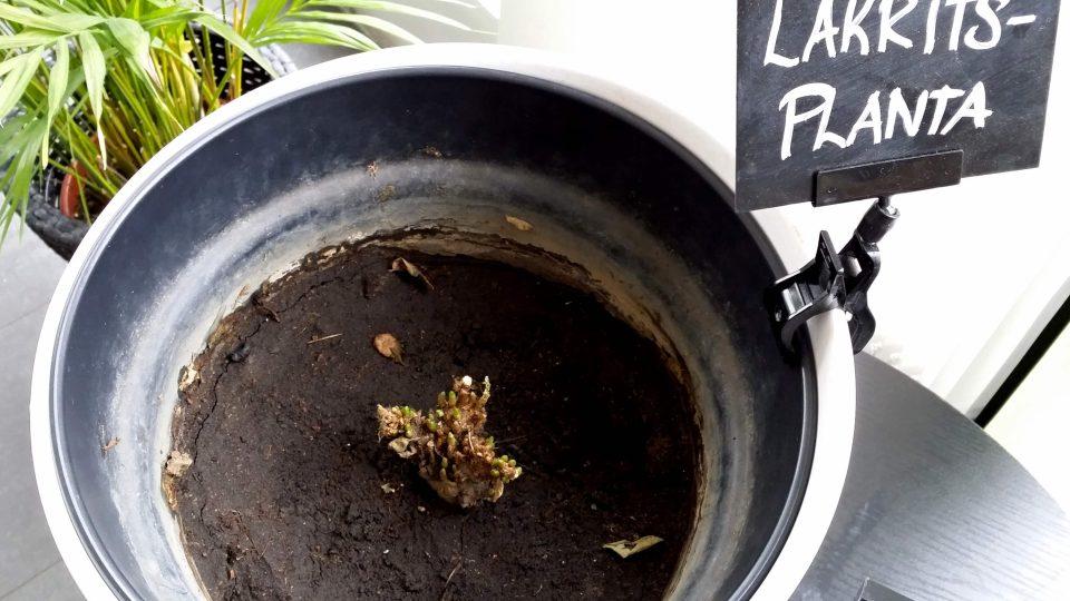 Kořeny lékořice se vytrhají ze země, rozdrtí, namočí do vody a uvaří