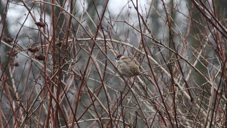 Odhady úbytku vrabců jsou podle Moniky Klimowiczové různé