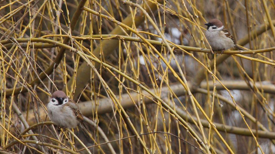Úbytek drobných ptáků má dopad na celý ekosystém, především na rozšíření hmyzu