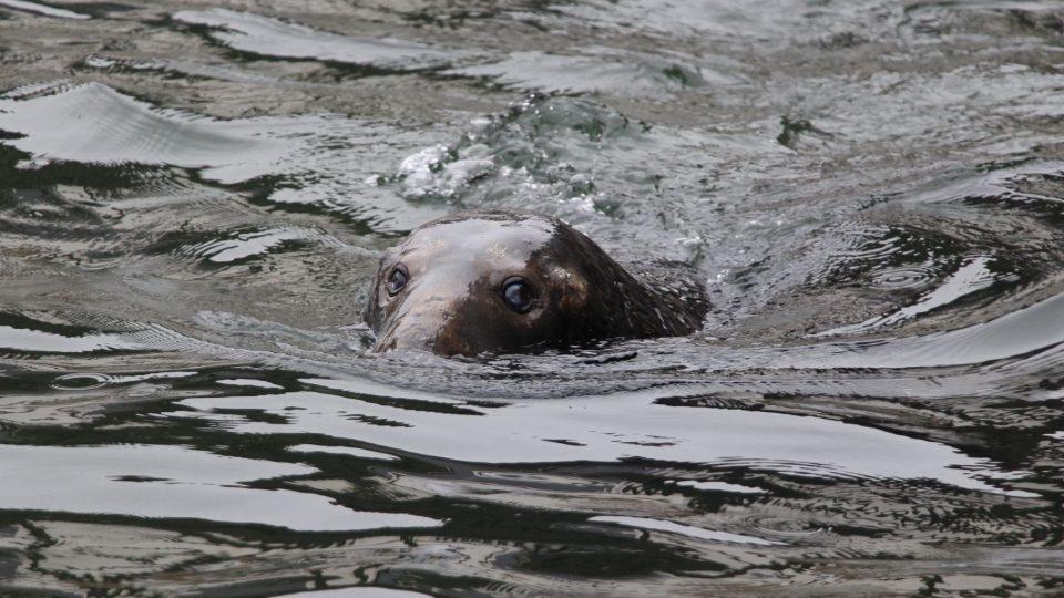Počty tuleňů v Baltském moři v posledních dvou letech klesají. Na vině jsou rybáři i znečištěné prostředí