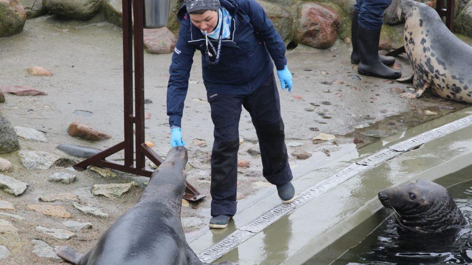 Krmení tuleního stáda před návštěvníky