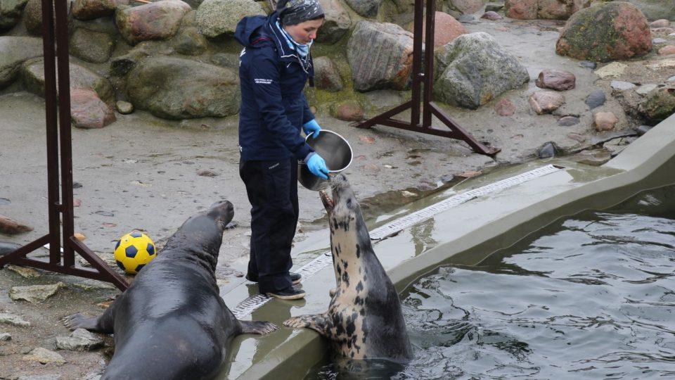 Tuleni, kteří se nemohou vrátit do volné přírody, předvádějí návštěvníkům záchranné stanice, co dokážou