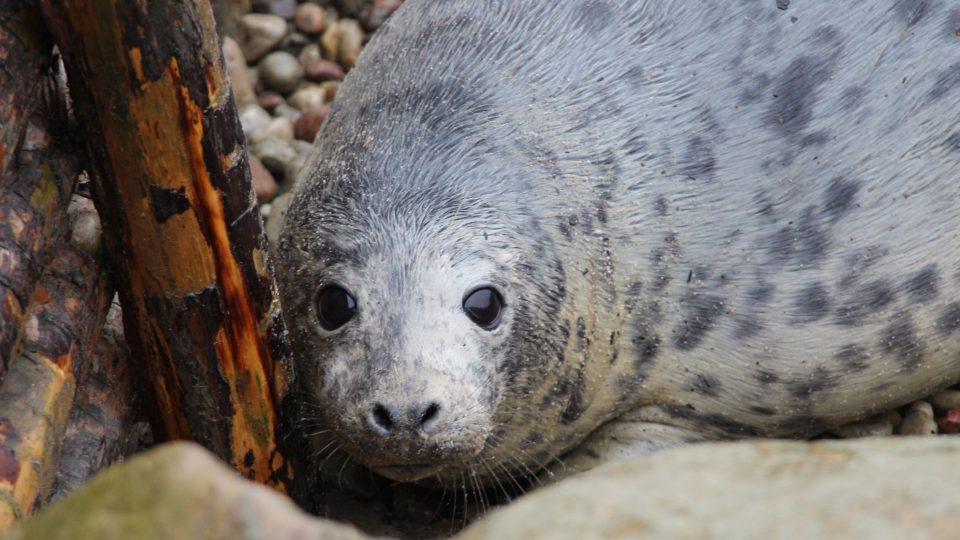 Tulení mláďata jsou roztomilá a často na to doplatí
