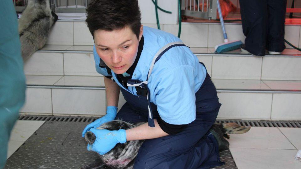 Krmení tuleních mláďat sondou není příjemné pro nikoho