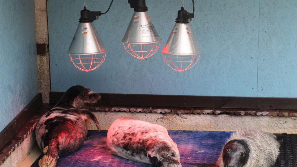 Tulení nalezenci se vyhřívají pod infračervenými lampami