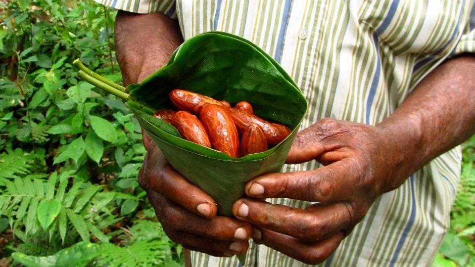 Rozdrcená semínka a také listy na extrakci DNA cestují z Kamerunu do laboratoří České zemědělské univerzity