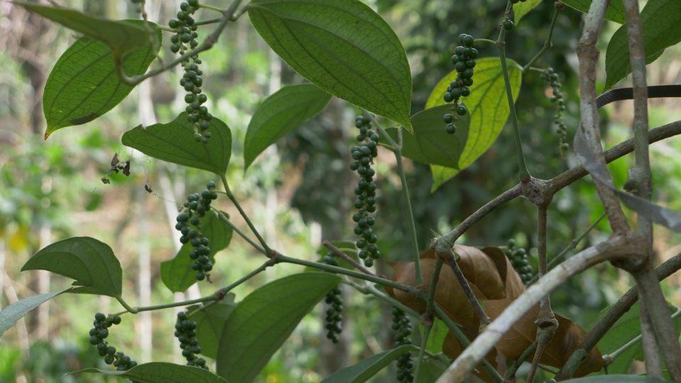 Jednotlivé typy pepře vznikají různým způsobem sklizně a následného zpracování plodu pepřovníku