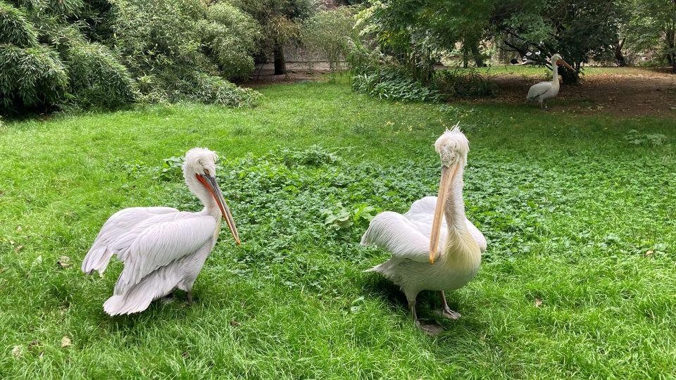Pelikáni jsou zvídaví ptáci s výjimečně ostrým zobákem