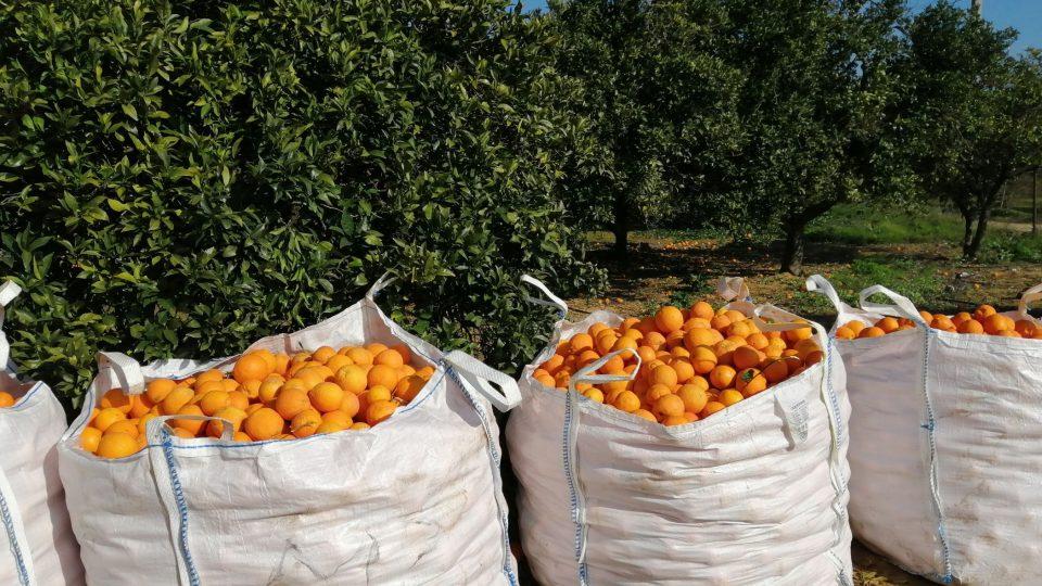 Do každého pytle se vejde bezmála 400 kilogramů pomerančů