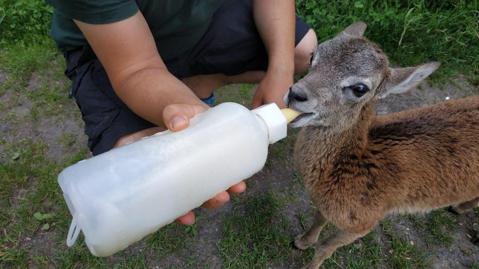 Mládě muflona. Záchranná stanice pro opuštěná a zraněná zvířata z volné přírody, Pavlov, Havlíčkův Brod