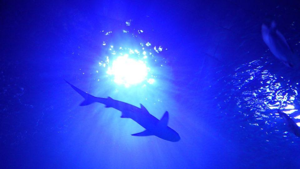 Žraloků je v Rudém moři hodně, ale vyskytují se většinou až dál od pobřeží