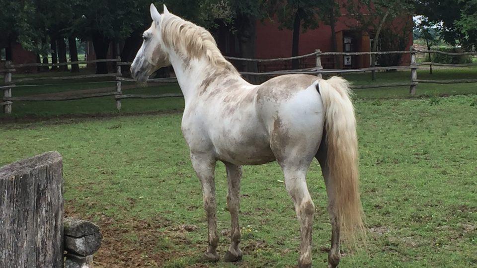 Lipicáni jsou předurčeni k výcviku jako přehlídkoví a tažní koně pro kočáry