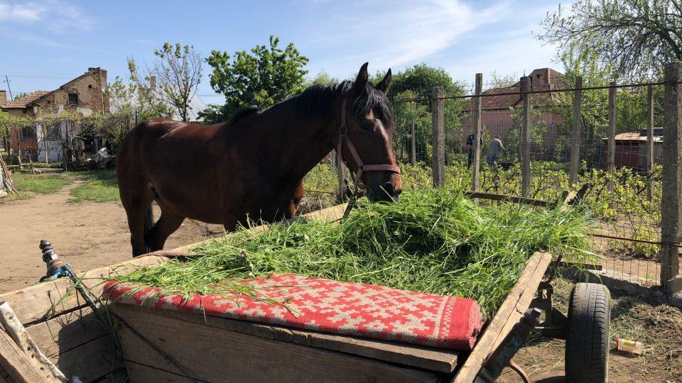 Kůň vyžaduje spoustu péče. Každý den s ním majitelé jedou pro trávu, kterou pak zvíře spásá přímo z vozíku v bezpečí domova
