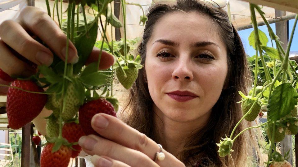 Při sklizni se k jahodám není potřeba ohýbat, což výrazně usnadňuje práci
