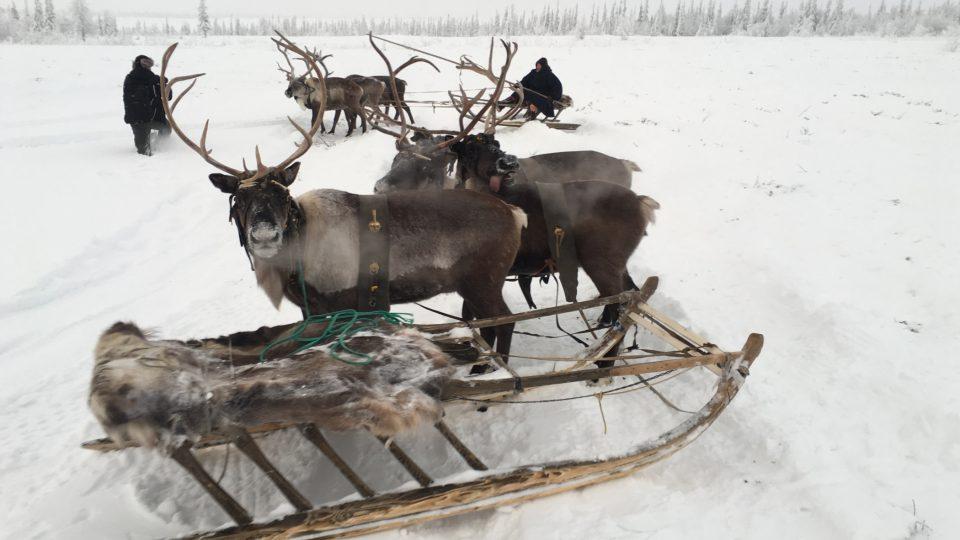 Sobi jsou hlavním zdrojem obživy obyvatel ruského severu už po tisíce let