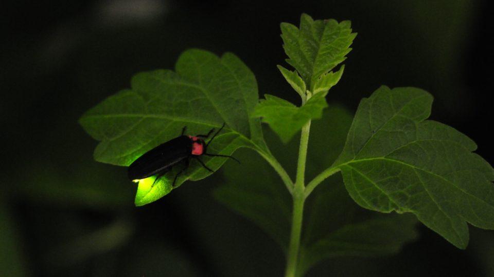 Světlušky bývaly dřív v každém lese, teď ale masivně ubývají