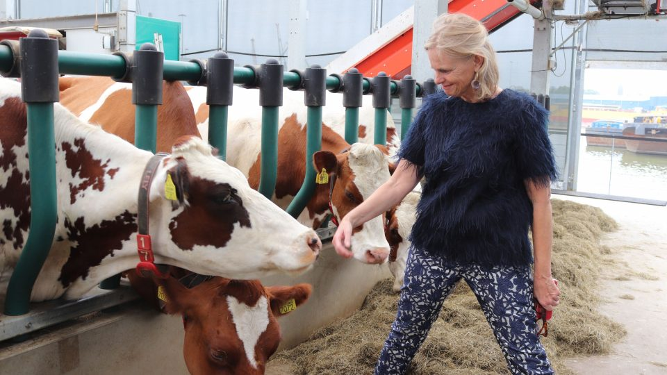 Krávy prý mořskou nemoc nemají. Mají výborné mléko a leskne se jim srst, daří se jim