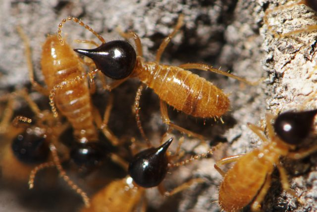 Termiti druhu Nasutitermes, Mexiko