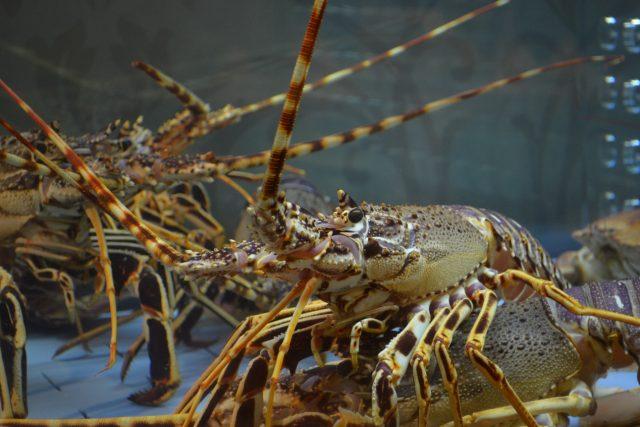 Někteří lidé si myslí, že humr vyrostl v těsném kontaktu s plechovkou, která skončila na dně oceánu (ilustrační foto)