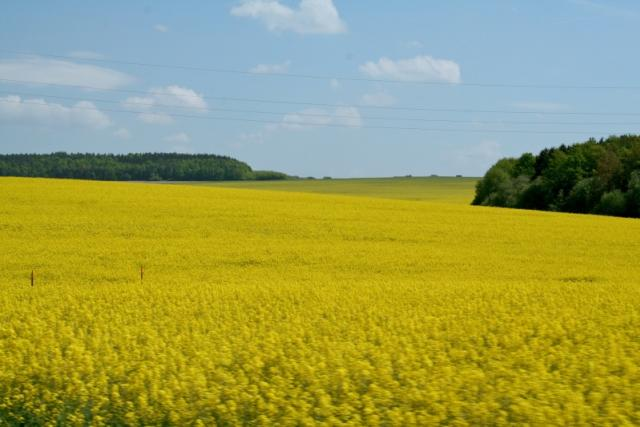 Řepka olejka - jedna z nejčastěji pěstovaných obilnin v ČR