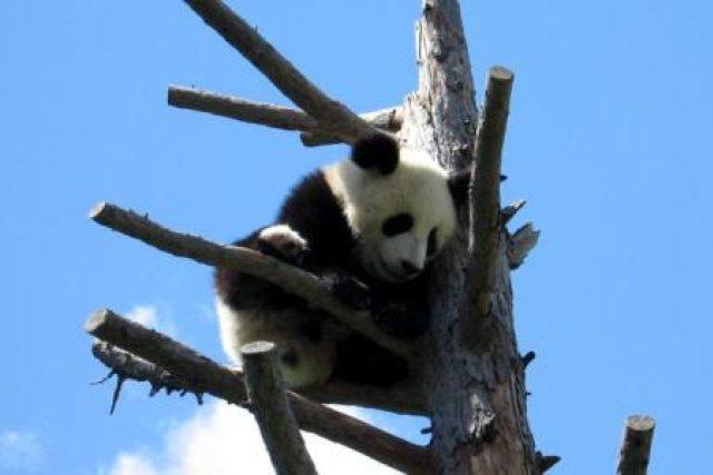 Roční mládě Fu Long