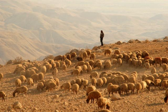 Bohatší beduíni mívají stovky koz a ovcí