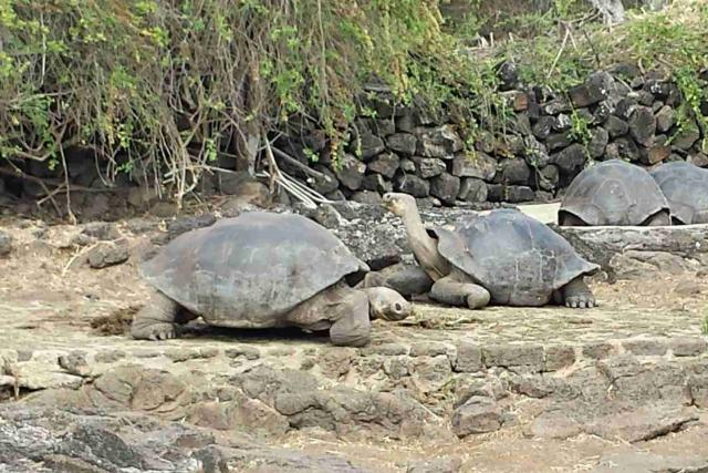 Želvy obrovské mají krunýř speciálně přizpůsobený životu na Galapágách