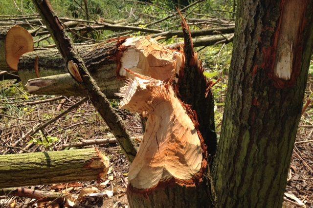 Stromy ohlodané bobry v okolí elektrárny Dukovany
