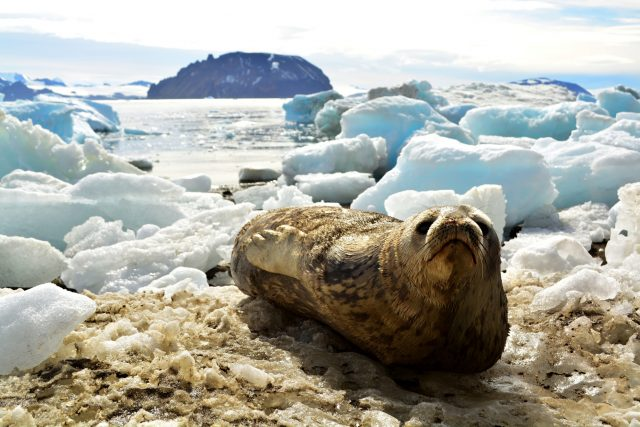 Z Antarktidy se do Česka vrátila expedice vědců z brněnské Masarykovy univerzity. Zkoumali uhynulé tuleně
