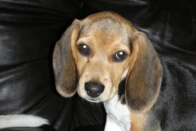 Bígl, beagle, pes, štěně