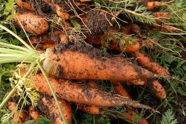 Mrkev - zelenina - bio - biozelenina