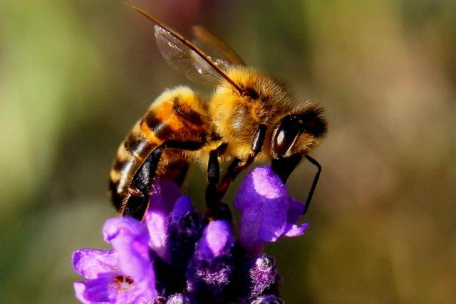 včela - hmyz