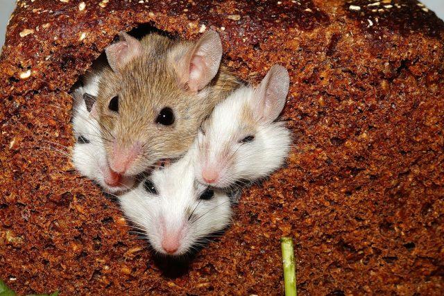 Myši (ilustrační foto)